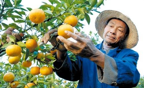 频道 鄂州特色水果深秋飘香图片