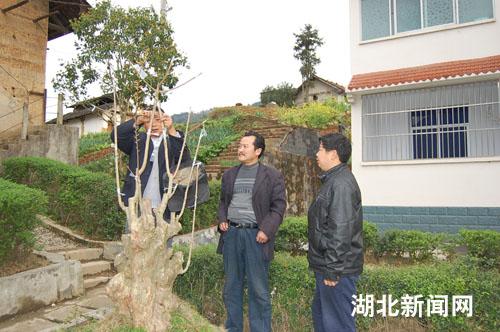 政府利用党校,成人技校和农民夜校培养了一大批嫁接果树,炒制茶叶的图片